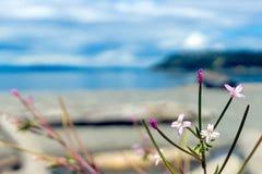 Frędzlasty willowherb obrazy stock