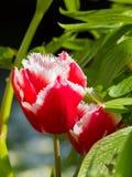 Frędzlastych menchii tulipany Obraz Stock