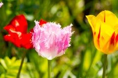 Frędzlastych menchii tulipany Obraz Royalty Free