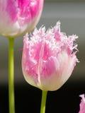 Frędzlastych menchii tulipany Zdjęcia Royalty Free