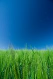 för fältgreen för korn blå sky Arkivbilder