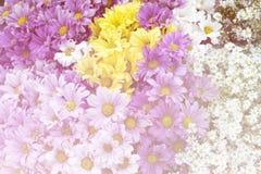 För gul purpurfärgad bakgrund för abstrakt begrepp för stil krysantemumblomma för vit mjuk Royaltyfri Foto