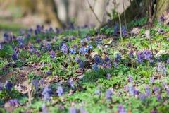 Fr?hling bl?ht Europa Edle mayflower Hepanca-nobilis Blaue Augen des Fr?hlinges mit den langen Wimpern, Tropfentr?nen regnen Anru stockfoto