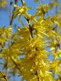 Fr?hlingsbaum mit Hintergrund der gelben Bl?te und des blauen Himmels lizenzfreie stockfotos