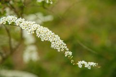 Fr?hlingsbl?te Spiraeastrauch mit kleinen wei?en Blumen Beschaffenheit oder Hintergrund stockfoto