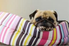 För hundmops för närbild som gullig valp vilar på hennes säng och håller ögonen på till kameran Arkivfoto