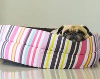 För hundmops för närbild som gullig valp vilar på säng och håller ögonen på till kameran Royaltyfri Foto