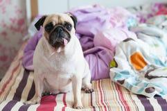För hundmops för närbilden sitter den gulliga valpen på hennes säng och att hålla ögonen på till kameran Royaltyfri Bild