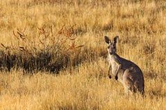 FR Kangaroo Yellow Grass Stock Image