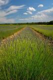 för liggandelavendel för aromatiskt fält växt- växt Arkivbilder