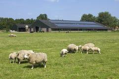 Får och solpaneler på en lantgård, Nederländerna Arkivfoton