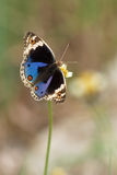 för orithyapansy för blå junonia male wallacei Arkivfoton