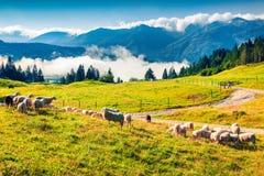 Får på alpint betar i solig sommardag Arkivbilder