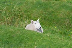 Får på gräset Royaltyfri Fotografi