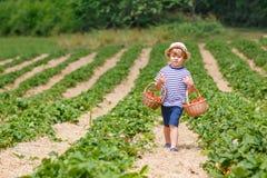 För pojkeplockning för liten unge jordgubbar på lantgård, utomhus Arkivbilder
