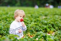 För pojkeplockning för liten unge jordgubbar på lantgård, utomhus Fotografering för Bildbyråer