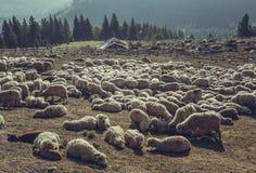 Får som vilar i sheepfold Arkivbilder