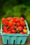 Fraîche, la main a sélectionné des fraises dans NYS Photographie stock