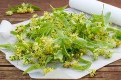 Fraîchement fleurs de tilleul pour le séchage et la phytothérapie Image libre de droits