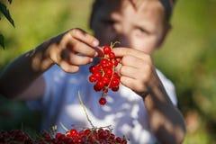 Fraîchement fruits de groseille rouge dans les mains d'un garçon photographie stock libre de droits