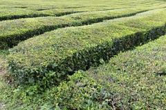 A fraîchement sélectionné le thé européen photo stock