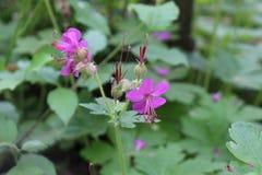 Fraîcheur de ressort des fleurs pourpres belles Photos libres de droits
