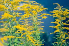 Fraîcheur jaune d'été de bouquet de wildflowers Images libres de droits
