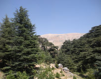 Fra i cedri del Libano Fotografia Stock