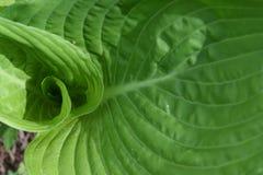 Fractal geometrii zieleni liści zawijasa struktura obrazy stock