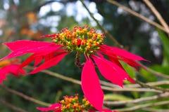 Fractalbild der Nacht Poinsettiasymbol von Weihnachten Rote Blume des Euphorbiengummis Lizenzfreies Stockfoto