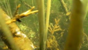 Fractura subacuática: árboles en un bosque inundado almacen de video