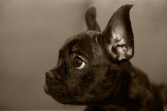 Fraech-Bulldogge Lizenzfreies Stockfoto