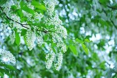 Fragancia blanca de la primavera de las flores de cerezo del pájaro foto de archivo libre de regalías