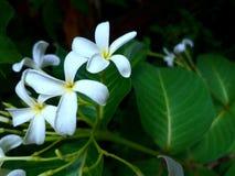 Fragancia de la flor de Mogra y disponible muy bonitos en cada lugar en la naturaleza imagen de archivo
