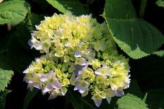 Fragancia embriagadora del arbusto de la hortensia fotografía de archivo