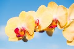 Fragancia y concepto de la frescura Flor con el flor fresco en el cielo azul Orquídea floreciente con los pétalos amarillos el dí imagenes de archivo