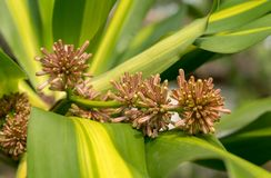 Fragant FLower& x28;Dracaena fragrans& x29; on green leaves. Fragant FLower& x28;Dracaena fragrans& x29; on green leaves  with soft bokeh background& x29 Stock Image