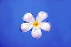 Fragapani flower Royalty Free Stock Photos