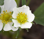 Fragaria Ananassa del flor de la fresa de Honeoye Fotografía de archivo