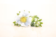 Fragaria ananassa, strawberry flower Royalty Free Stock Image