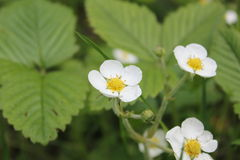 Fragaria flowers. Three fragaria flowers in forest Royalty Free Stock Photos