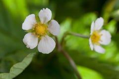 Fragaria Flowers Stock Photo