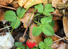 Fragaria nubicola, Indian Strawberry, Himalayan Strawberry Stock Images