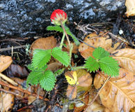 Fragaria nubicola, Indian Strawberry, Himalayan Strawberry Royalty Free Stock Photo