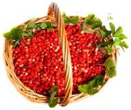fragaria truskawkowy vesca las Zdjęcia Stock