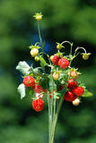 Fragaria vesca bouquet Royalty Free Stock Image