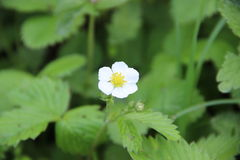 Fragaria vesca, commonly called wild strawberry, woodland strawberry, Alpine strawberry, European strawberry, or fraise des bois, Royalty Free Stock Photography