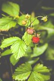 Fragaria vesca, commonly known as the Woodland Strawberry Royalty Free Stock Images
