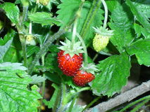 Fragaria vesca Royalty Free Stock Images