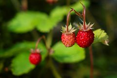 Fragaria vesca Stock Images